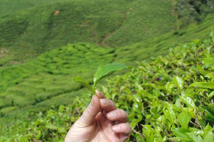 Teeanbaugebiet und Teeblatt Nahaufnahme